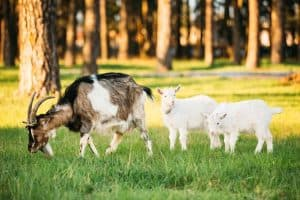 Goat And Two Kid Goat Grazing On Green Summer Grass On A Sunny D