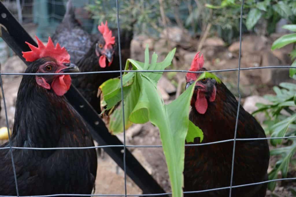 Chickens-love-Arrowroot-Canna-Edulis