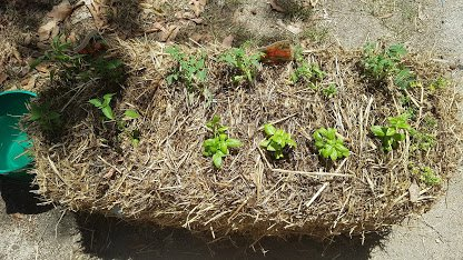 conditiong-straw-bale-gardening-day16