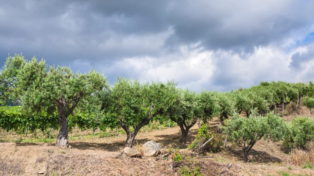 olive-tree-self-sufficient-garden