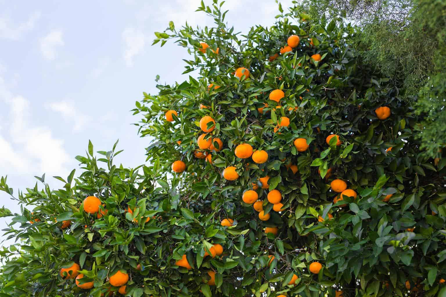 orange trees plantations