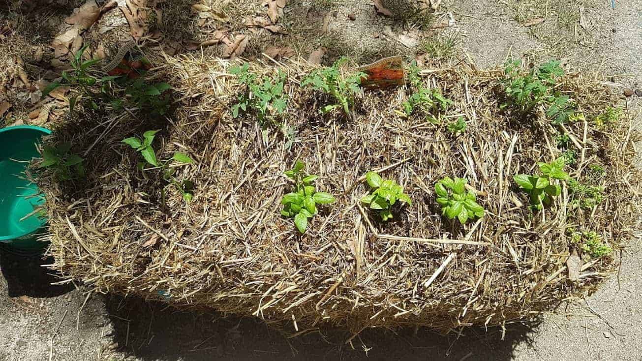 straw-bale-gardening-how-to-condition