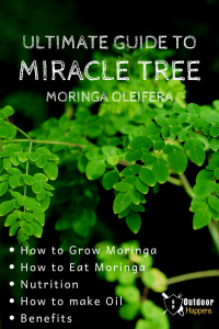 ultimate-guide-moringa-drumstick-miracle-tree-morninga