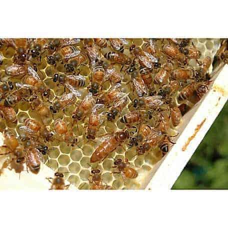 live-italian-honey-bees