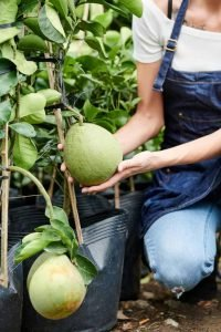 Woman in apron checking growing pomelo fruits
