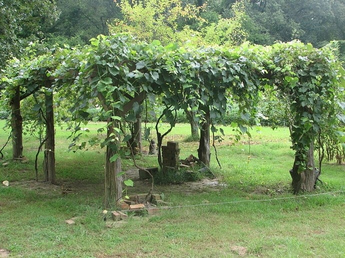 backyard-grape-trellis-covered-in-grapes