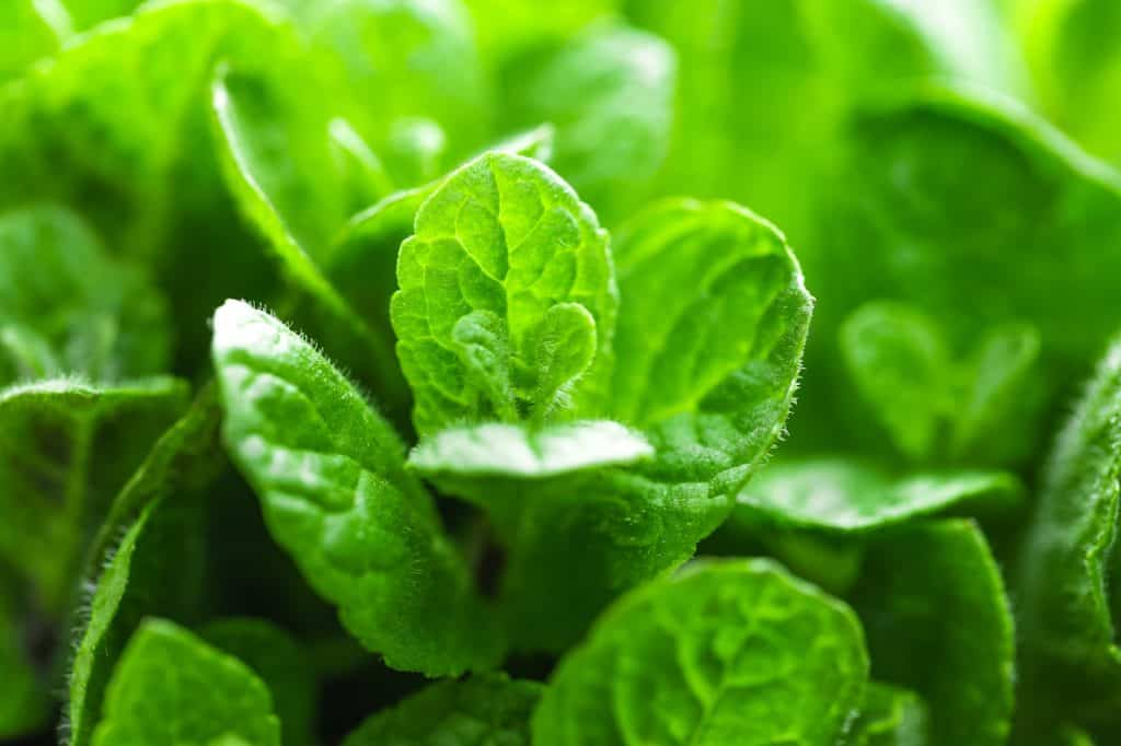 mint-survival-garden