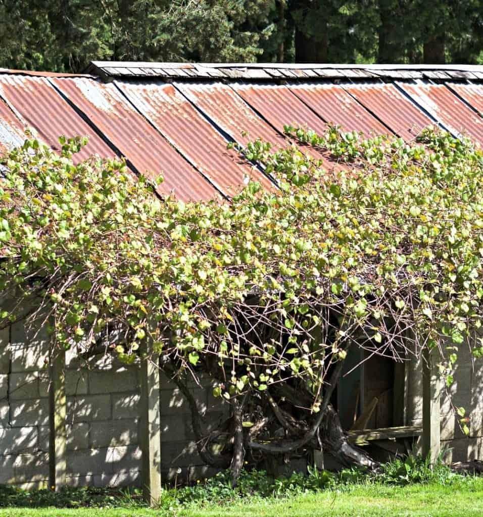 grape-arbor-diy-huge-grape-vine
