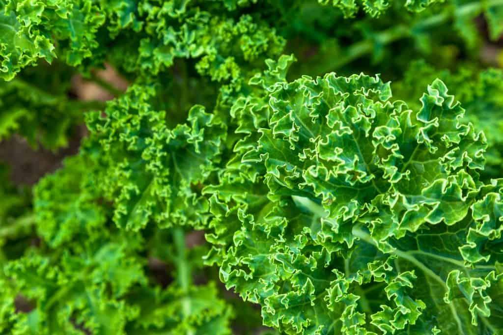 Kale-survival-garden