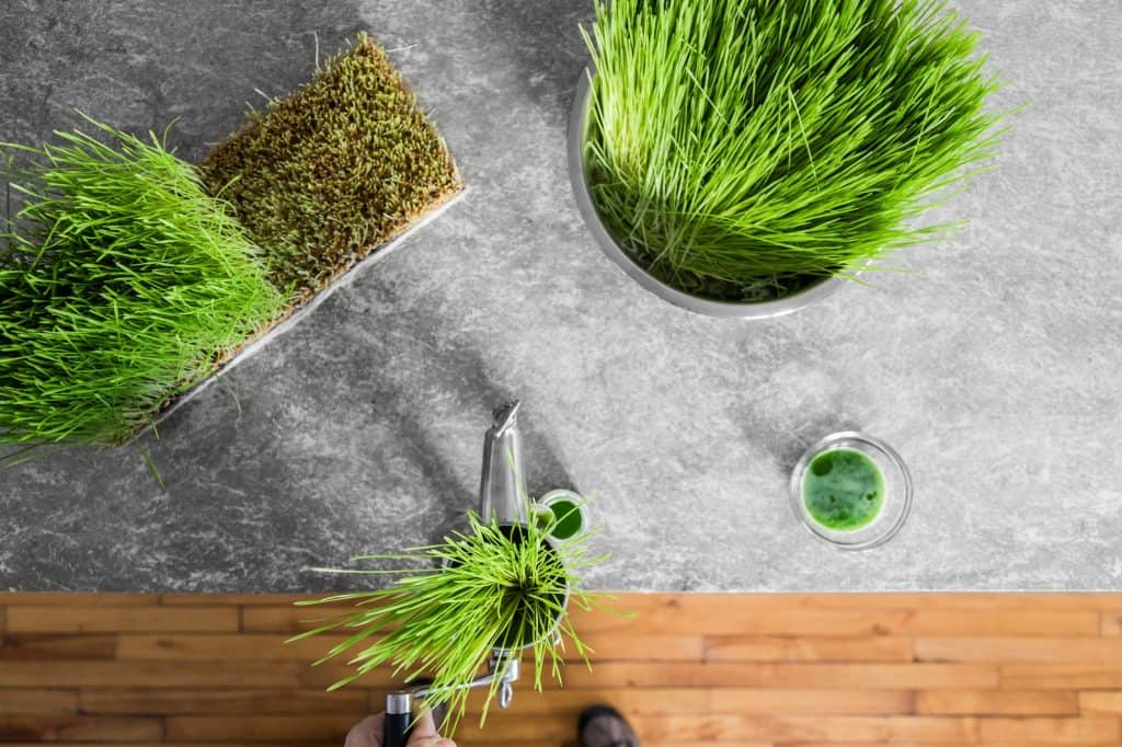 wheatgrass-survival-garden