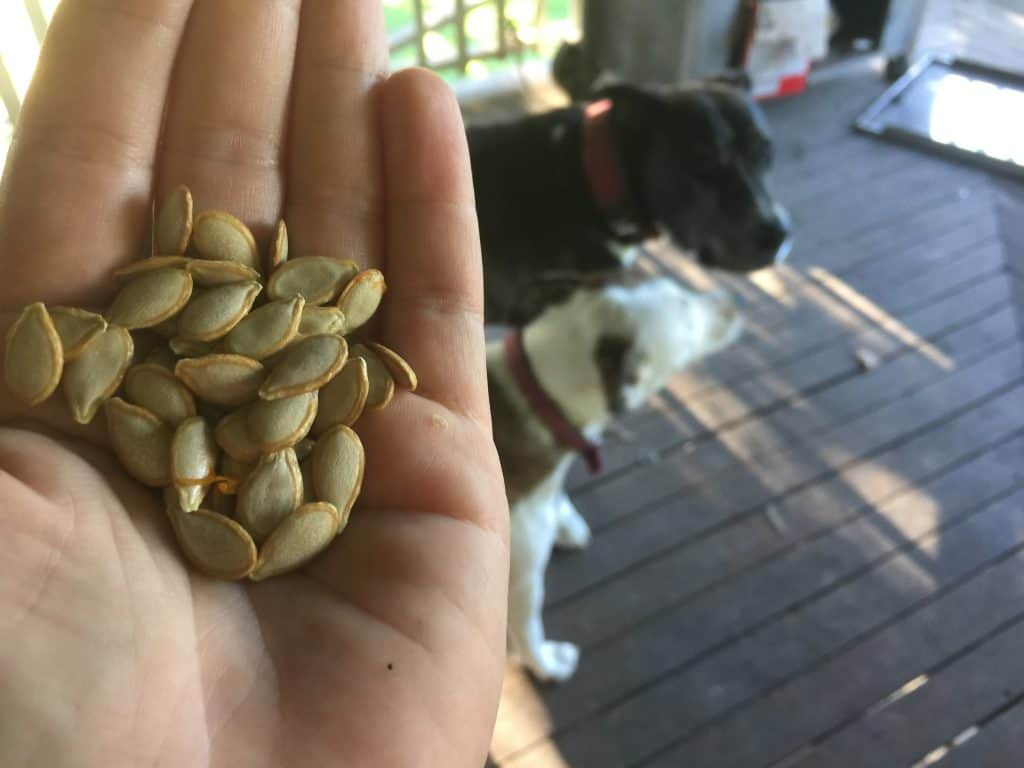 new-pumpkin-vines-from-seeds