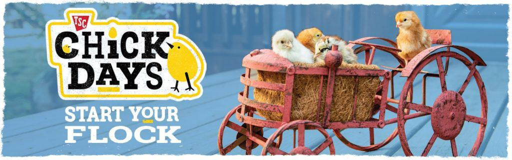 chick-days-start-your-flock-now