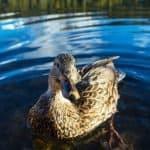 raising-ducks-backyard-ducks