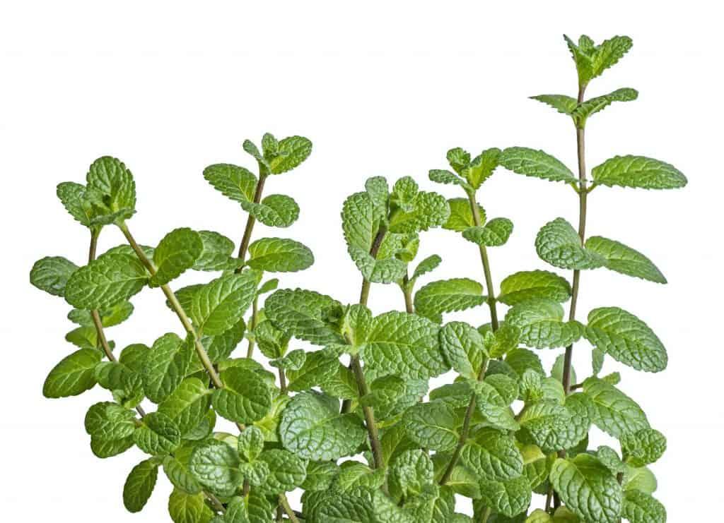mint-plants-repel-fleas