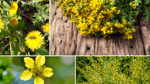 yellow-flowering-herbs-13-best-herbs-with-yellow-flowers