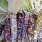 Corn-glass-gem-wm_700_800x