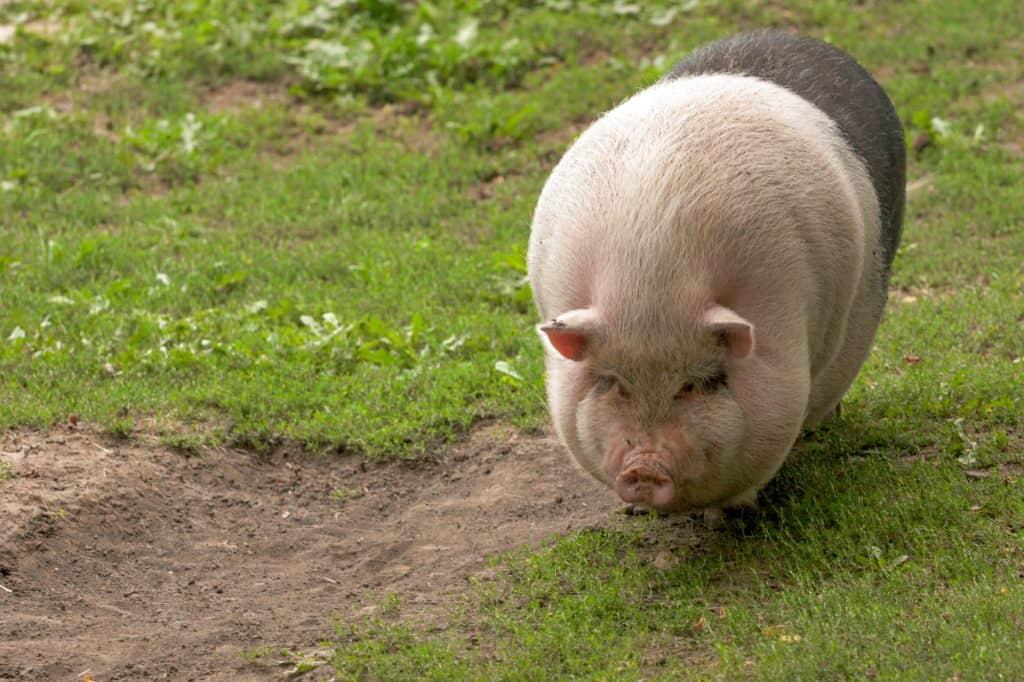 pig-lard-vs-tallow