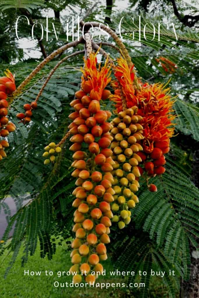 colvilles-glory-colvillea-racemosa-how-to-grow-guide