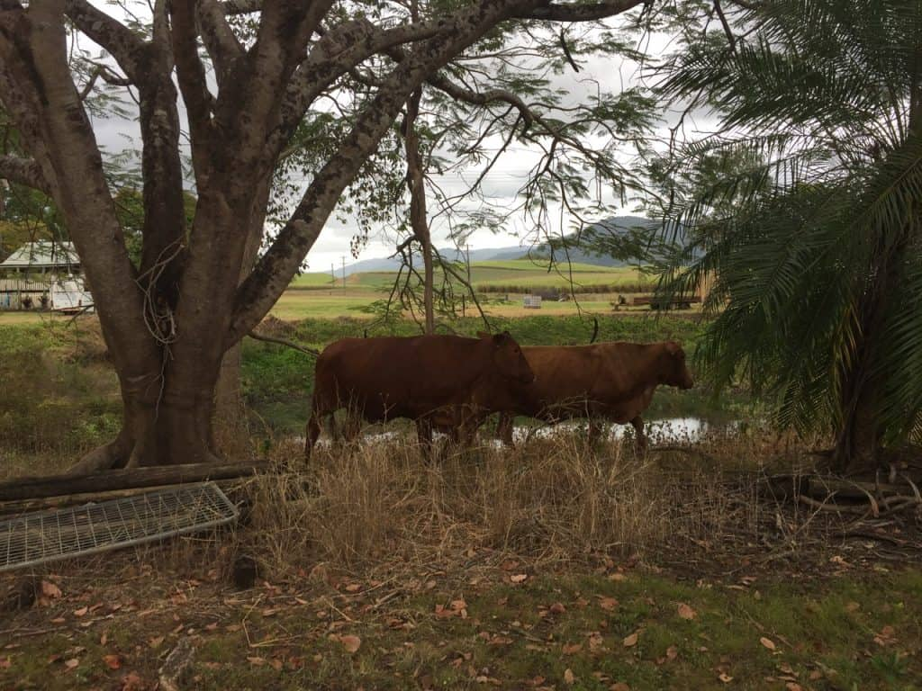 cows-have-tallow