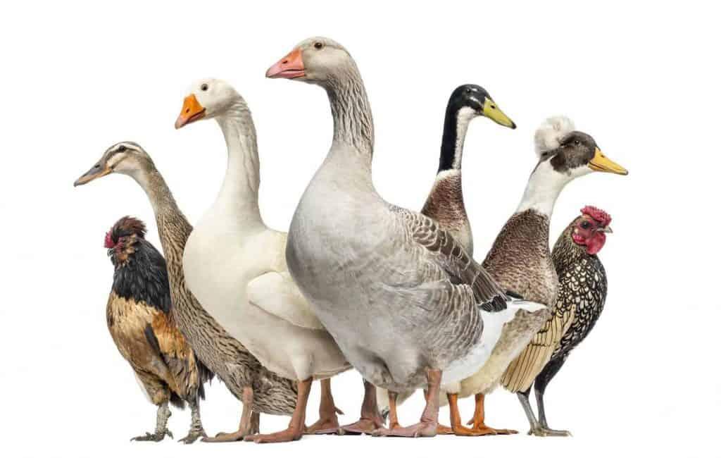 chickens-vs-ducks-homestead