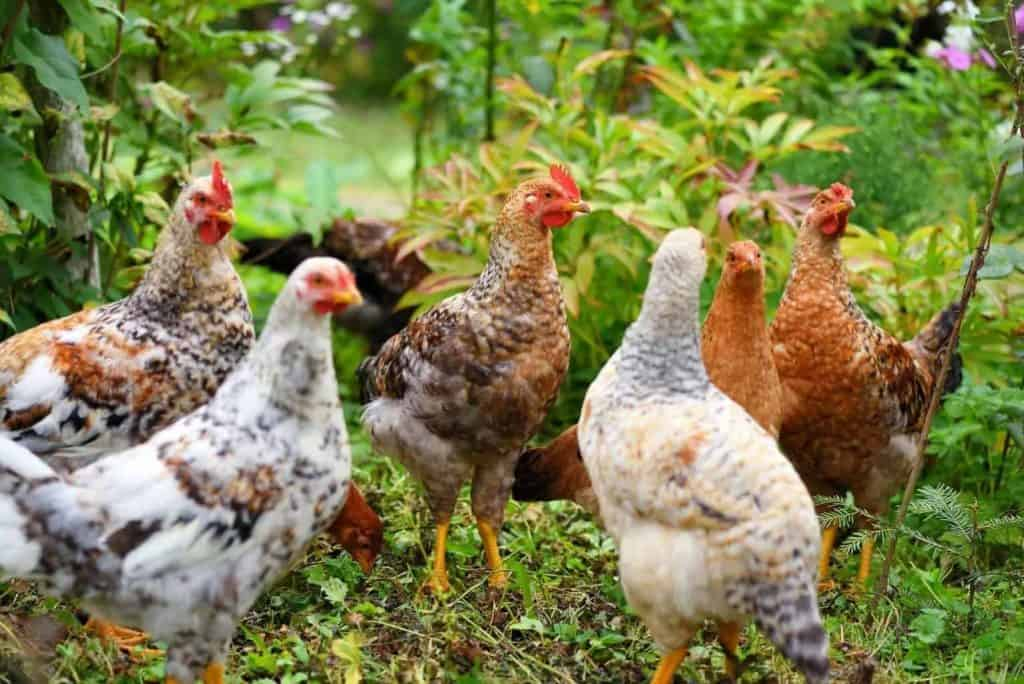 hens-in-field-organic-farm-free-range-chickens-on-a-lawn_new