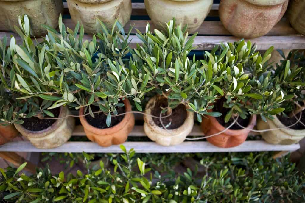 indoor-olive-tree-containers