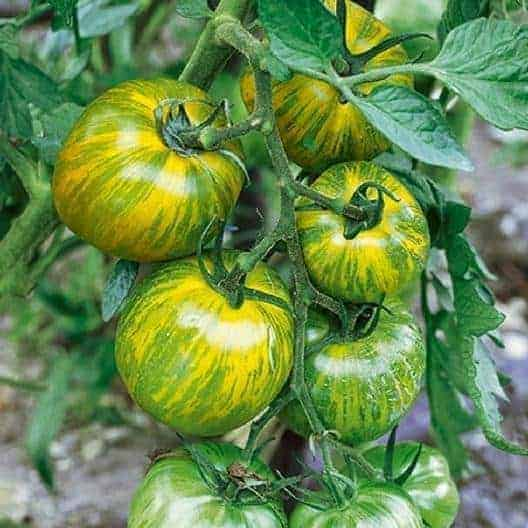 tomato-green-zebra-easy-grow-beautiful-vegetable