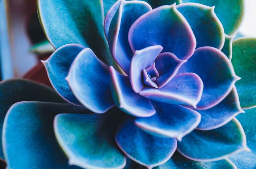 echeveria-flowering-succulents