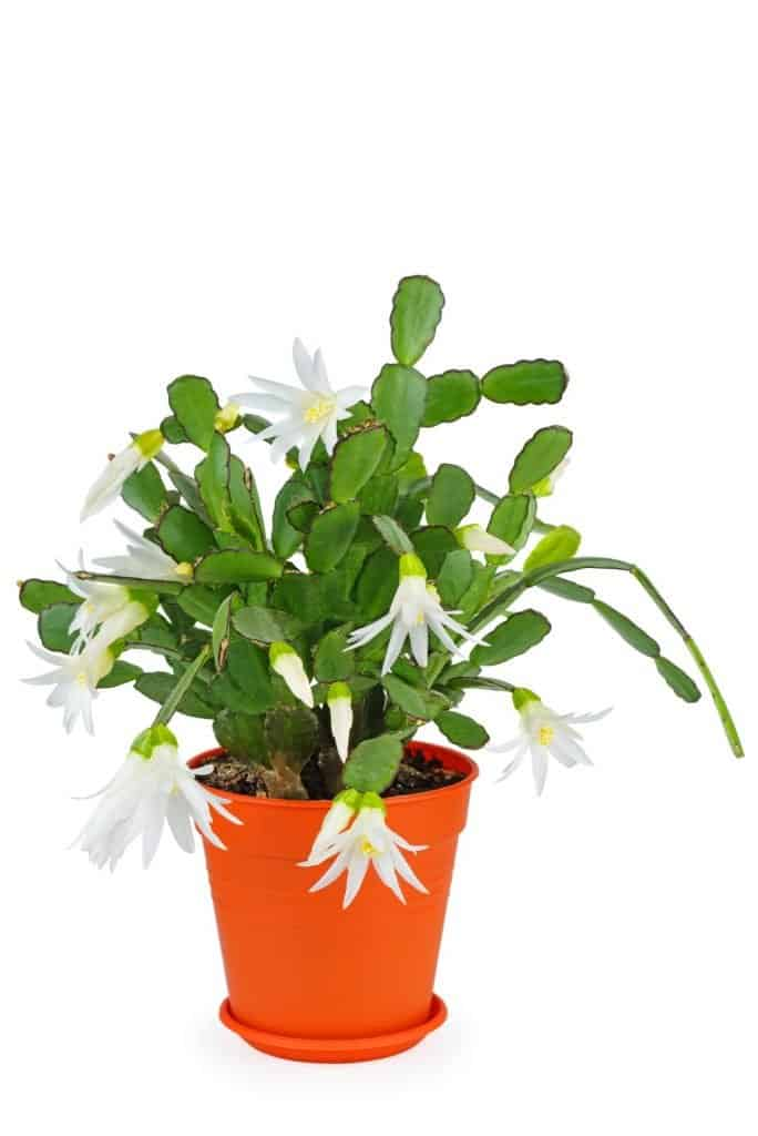christmas-cactus-schlumbergera-flowering-succulent