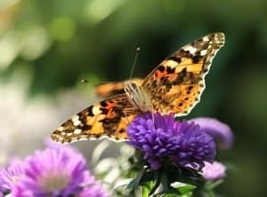 Attracting-butterflies-Painted-lady-butterfly
