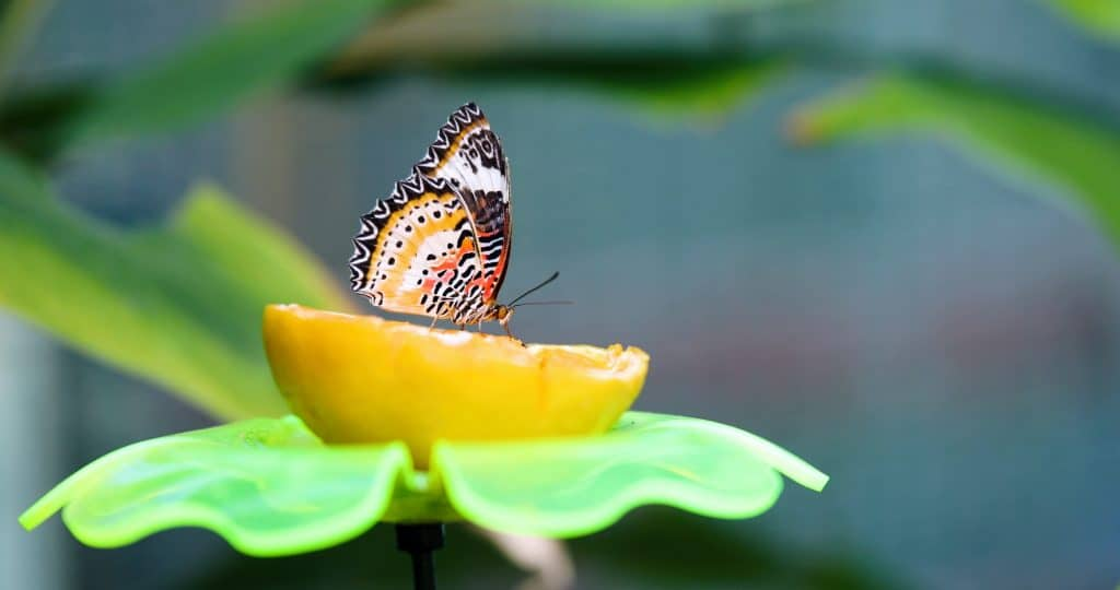 How-attract-butterflies-garden