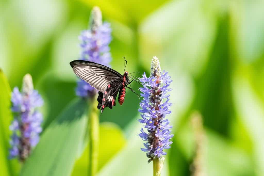 swallowtail-butterfly-pickerelweed-flower