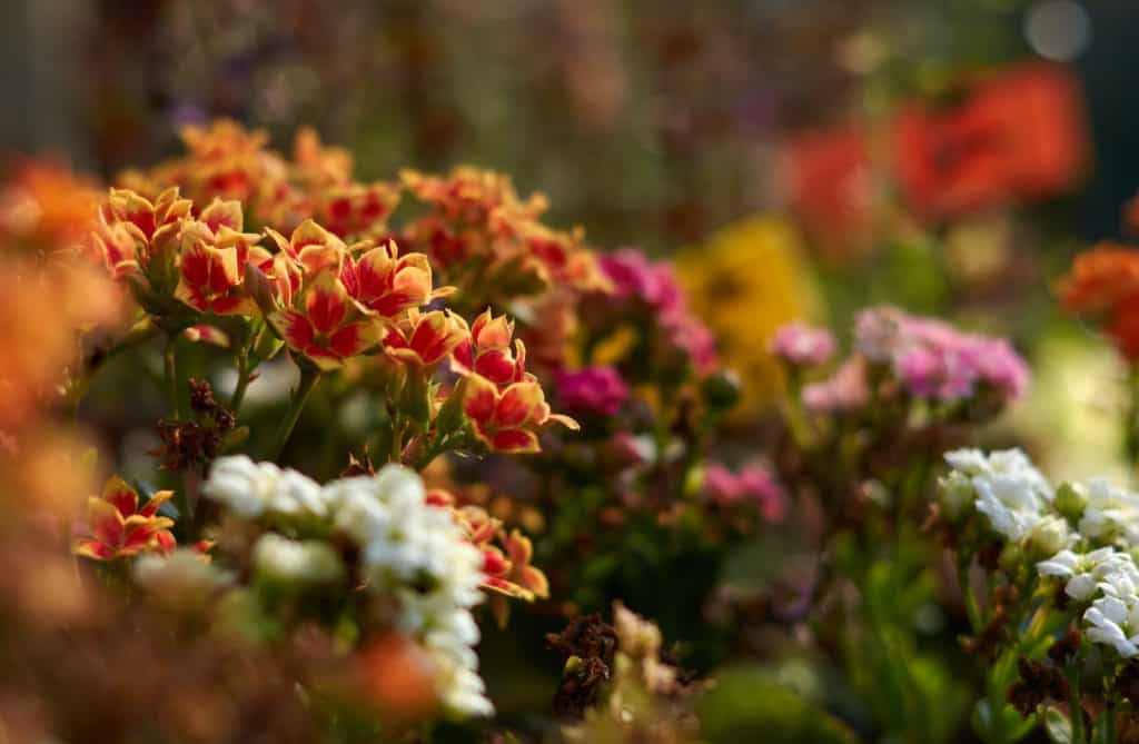 kalanchoe-flowering-succulent