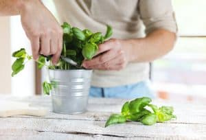 How-to-harvest-basil-leaves