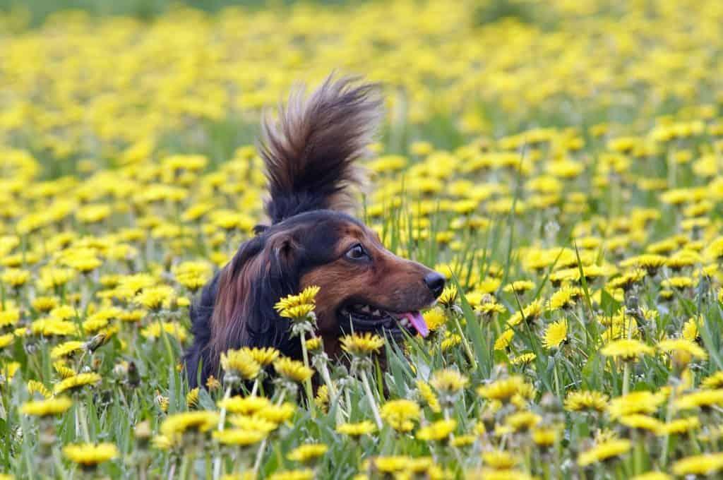 dachshund-earthdog-digging