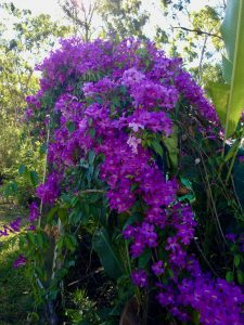mansoa allicea garlic vine