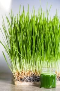 best-wheatgrass-seeds-growing