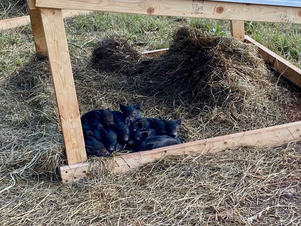 farrowing-pigs-raise-piglets-how-to