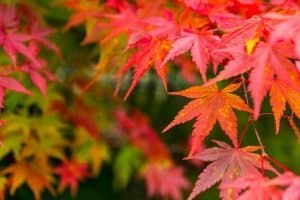 are-maple-leaves-edible