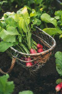 are-radish-leaves-edible