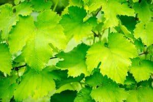 are-grape-leaves-edible
