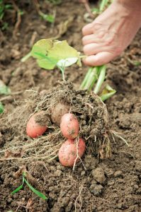 are-potato-leaves-edible