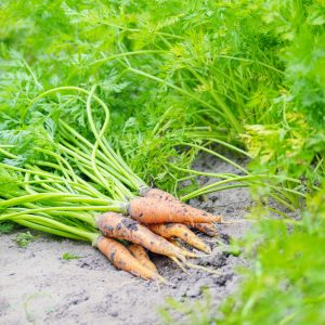 are-carrot-leaves-edible