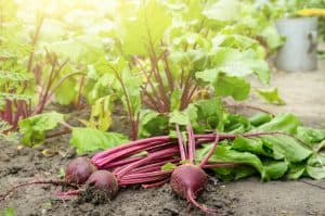are-beet-leaves-edible