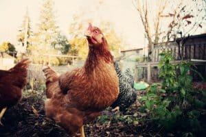 Backyard-chicken-facts