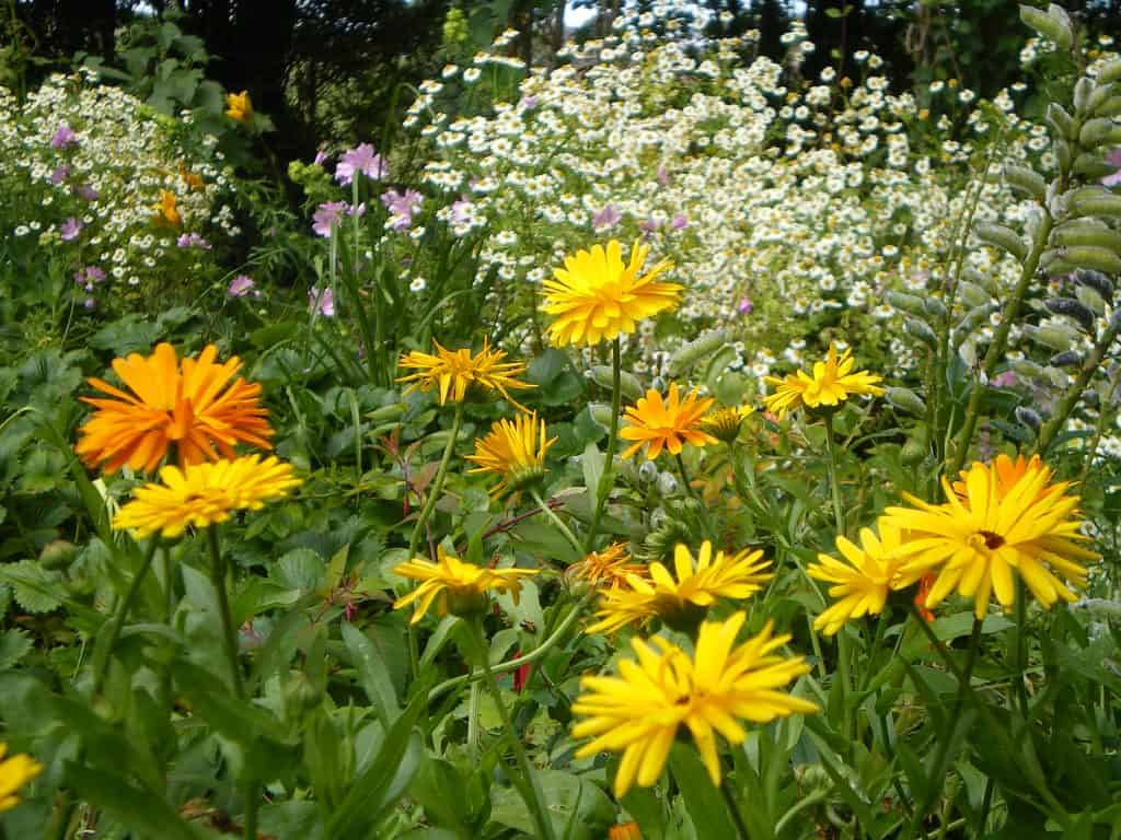calendula-cover-crop-food-forest