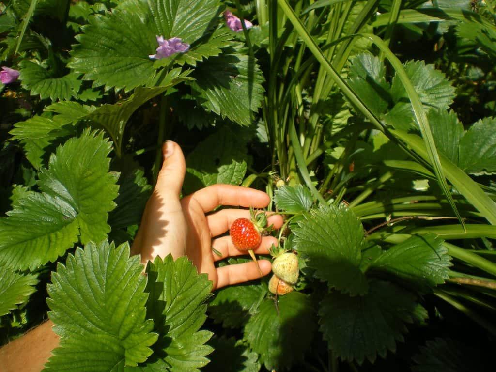 food-forest-garden-ground-layer
