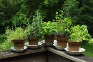 herbs-that-like-full-sun-for-beginners-easy-to-grow