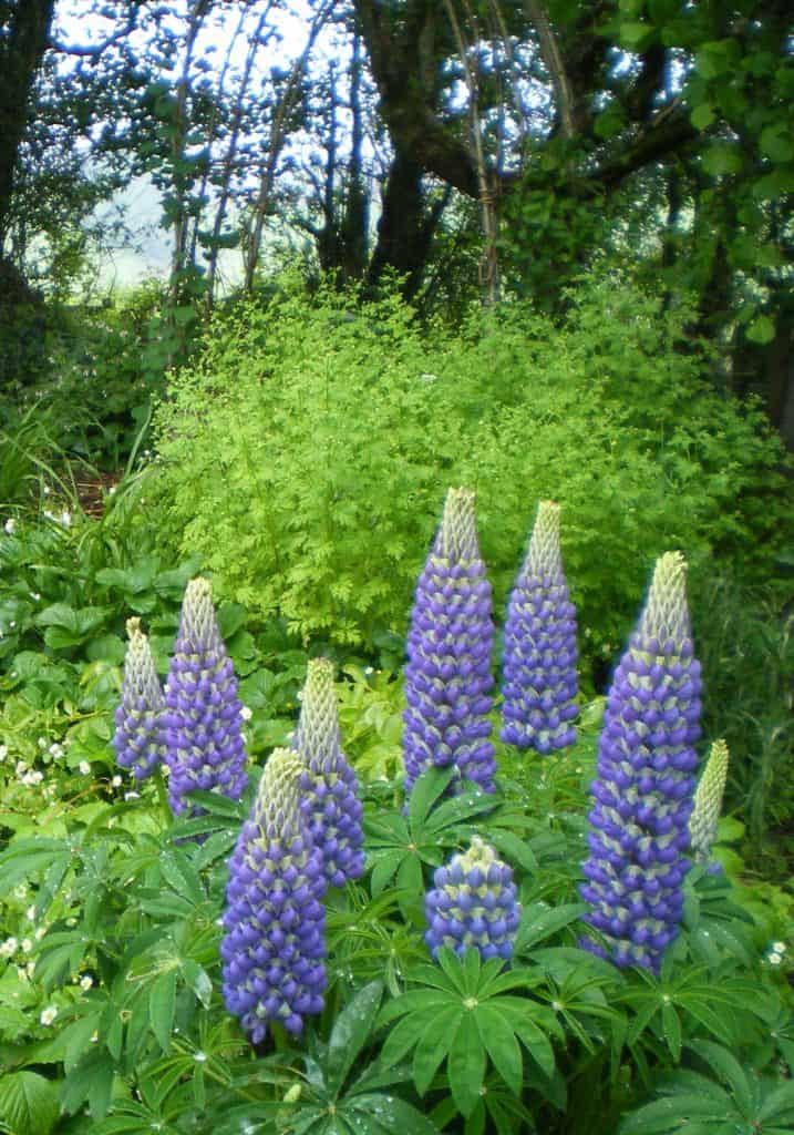 lupins-fertilize-food-forest-floor