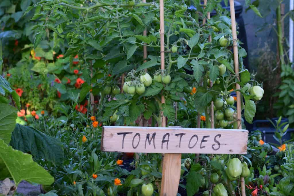 determinate-vs-indeterminate-tomato-growing-times